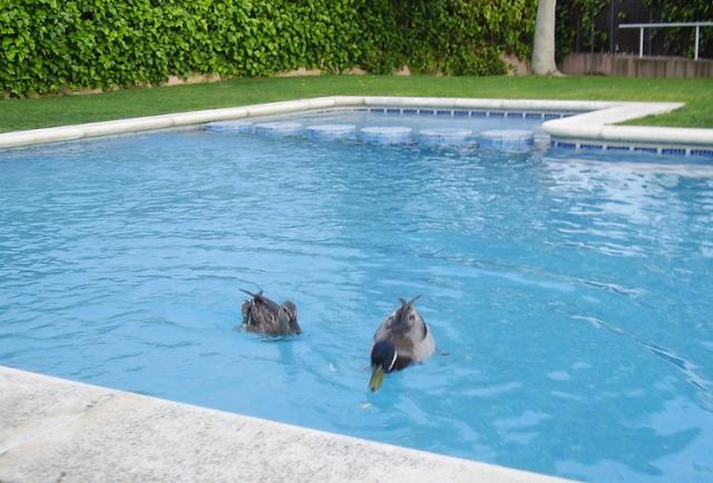 patos piscina